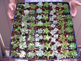 105-195 Assorted Succulent Favors