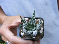 Set of 25 Haworthia attenuata Zebra Succulent