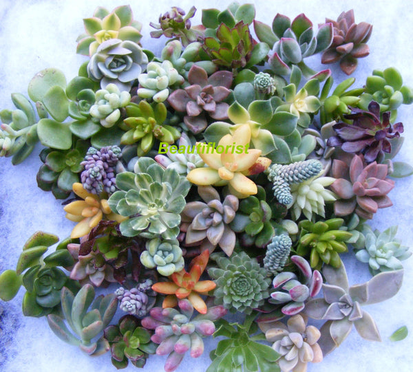 succulent rosette cuttings