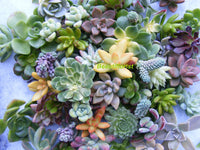 10/15 Rosette cuttings Assorted rosette Succulent Cuttings