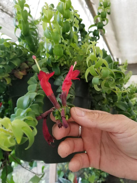 Aeschynanthus radicans curly lipstick cuttings
