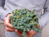 Blue Tear Sedum Cluster-Sedum Dasyphyllum Major Succulent Great for Fairy Garden Plant