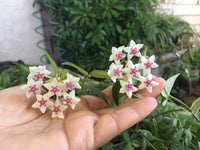 Hoya Bella wax plant 2 inch pot
