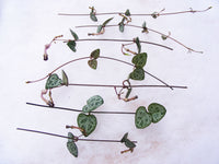 String of Hearts Plant Succulent Ceropegia Woodii Succulent Cuttings