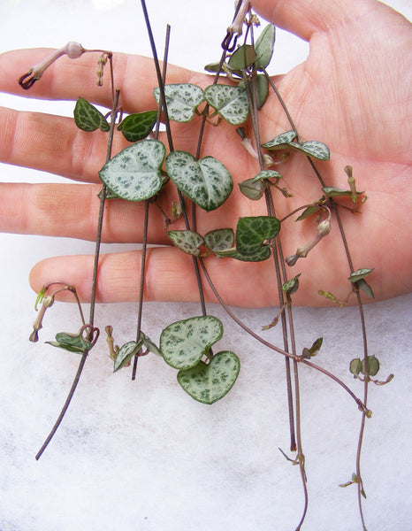 String of Hearts Plant Succulent Ceropegia Woodii Cuttings
