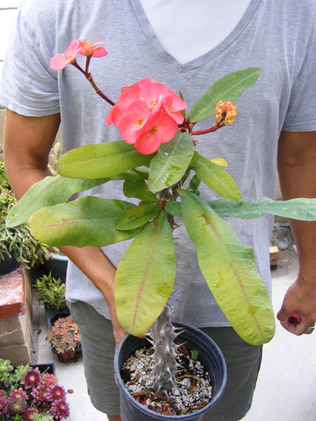 Euphorbia Milii Crown of Thorns Orange Flower Cactus - Large Blooms