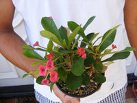 Crown of Thorns Pink Euphorbia Milii Plant Cactus clump