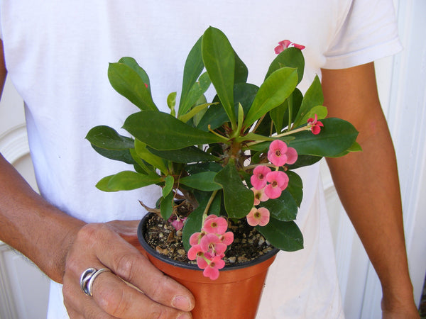 Euphorbia Milii Crown of Thorns Cactus