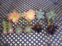 10 Assorted Succulent Cuttings set A
