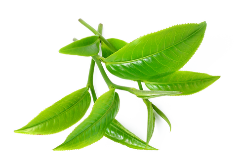 omorfee-tea-tree-essential-oil-tea-tree-oil-for-skin-skincare-benefits-of-tea-tree-tea-tree-oil-for-hair-tea-tree-oil-for-face