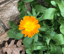 Load image into Gallery viewer, Calendula Handcrafted Soap