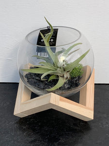 Tillandsia terrarium 'Fundation'