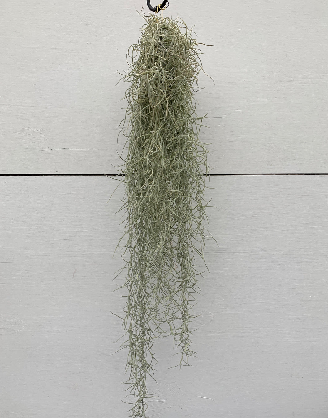 Tillandsia usnoides (AKA air plants)