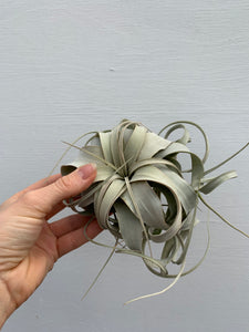 Tillandsia xerographica (AKA air plants)