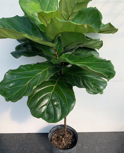 Ficus Lyrata 'Fiddle-leaf fig' sur tige
