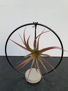 Tillandsia 'Eclipse'