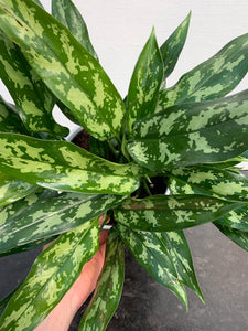 Aglaonema 'Maria' (Chinese Evergreen) 6""