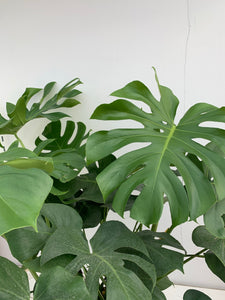 Philodendron Monstera (Split-leaf) 10""