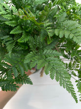Load image into Gallery viewer, Davallia fejeensis 'fern rabbit paste' 6in