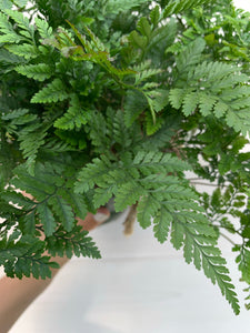 Davallia fejeensis 'fern rabbit paste' 6in