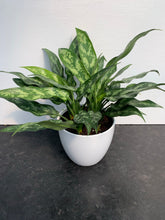 Load image into Gallery viewer, Aglaonema 'Maria' (Chinese Evergreen) 6""