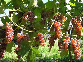 Copy of Vitis Somerset (Vigne raisins)