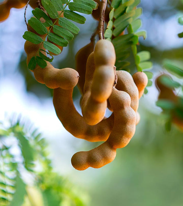 Sweet Tamarind, Imly Grafted - Plant