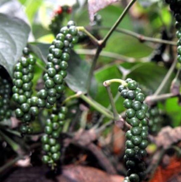 Black Pepper, Piper nigrum - Spice Plant