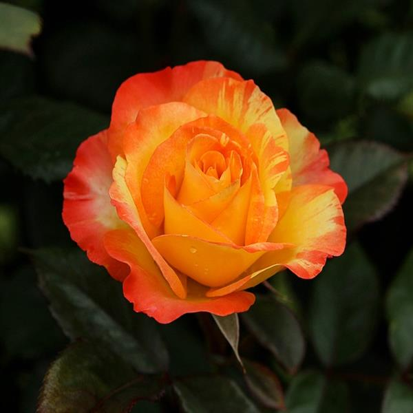 Rose (Yellow Orange) - Plant