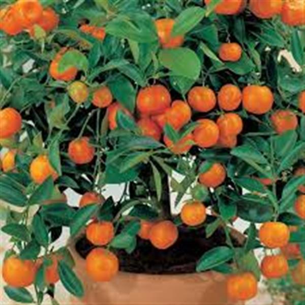 Ornamental Orange Fruit Plant