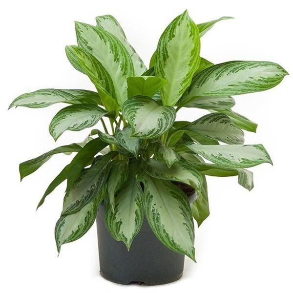 Aglaonema Diamond Bay – Plant