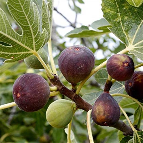 Anjeer, Common fig fruit plant