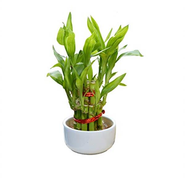 2 Layer lucky Bamboo With Bowl - Plant