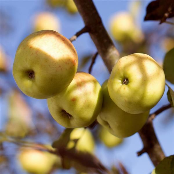 golden apple fruit plant