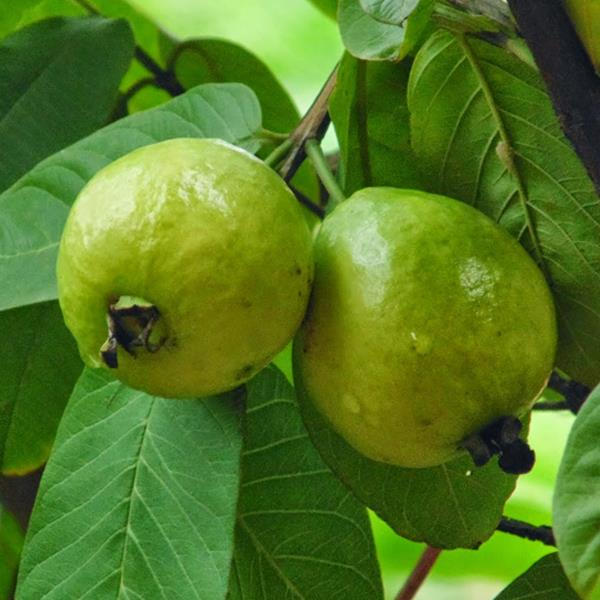 Psidium Guajava Fruit Plant