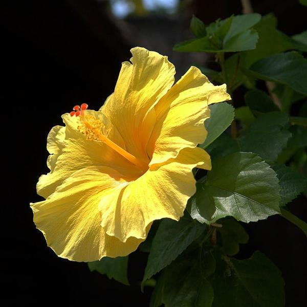 hibiscus-yellow–plant