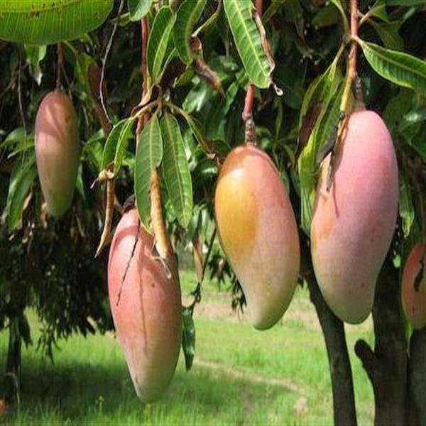 mango totapuri fruit plant