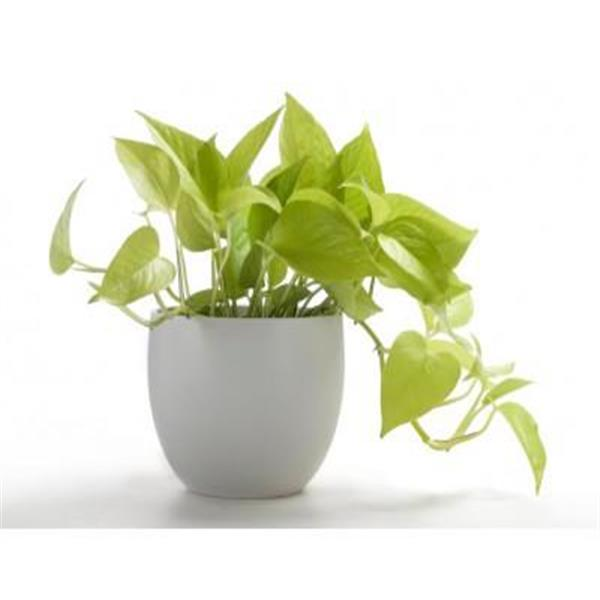 plantnurseryonline-money-plant-golden-scindapsus-golden