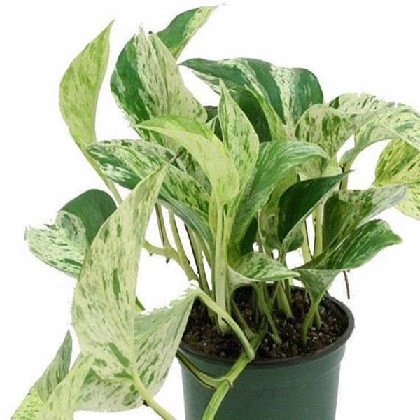 Money Plant Marble Queen - Plant
