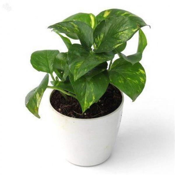 Money Plant, Scindapsus (Green) – Plant