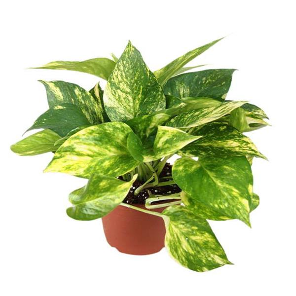 Money plant variegated, Scindapsus gold-king – Plant