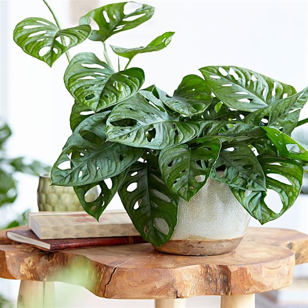 Monstera Obliqua - Plant