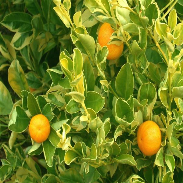 ornamental orange variegated fruit plant