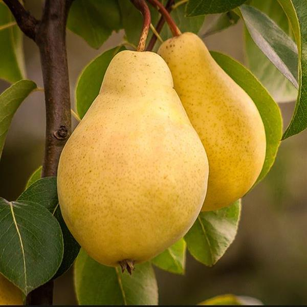 pear-fruit-babugosha-plant