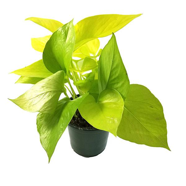 Philodendron Ceylon Golden - Plant