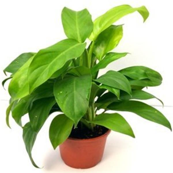 Philodendron Ceylon (Green) - Plant