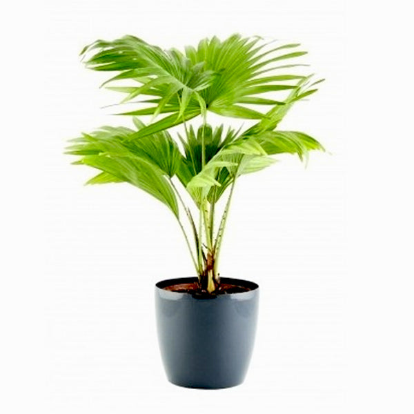 plantnurseryonline-table-palm-umbrella-palm