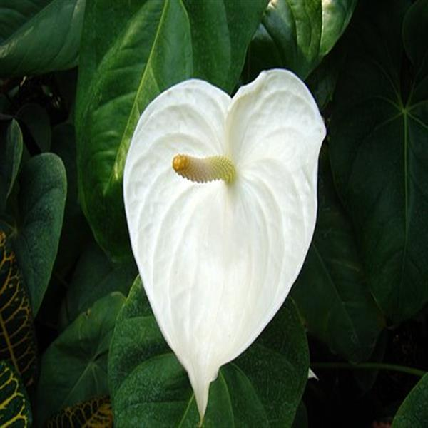 Anthurium (White) - Plant