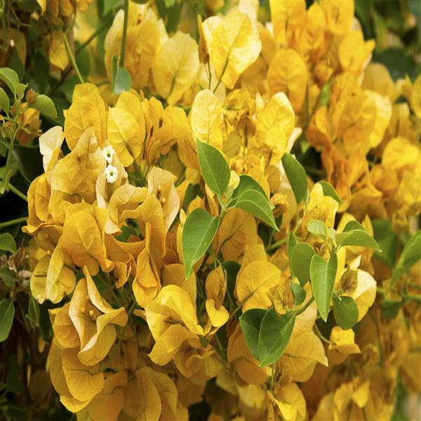 Bougainvillea (Yellow) - Plant