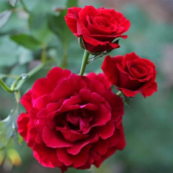 Gladiator Red Rose - Plant